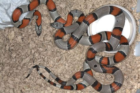 Grey-banded Kingsnake Facts and Pictures