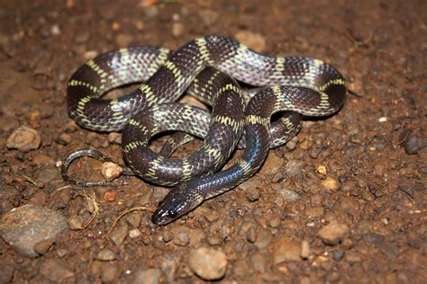 Travancore Wolf Snake Facts and Pictures