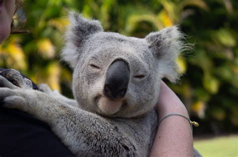 The first known baby koala since the Australian wildfires
