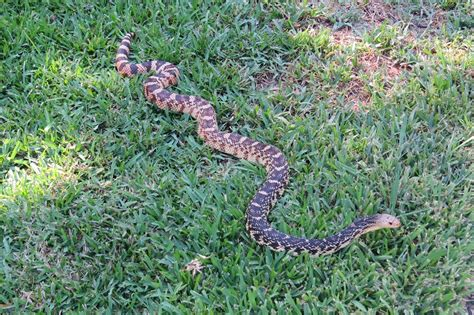 Louisiana Pine Snake Facts and Pictures